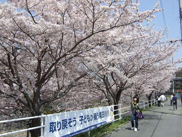 Tatsutagawa_sakura_08