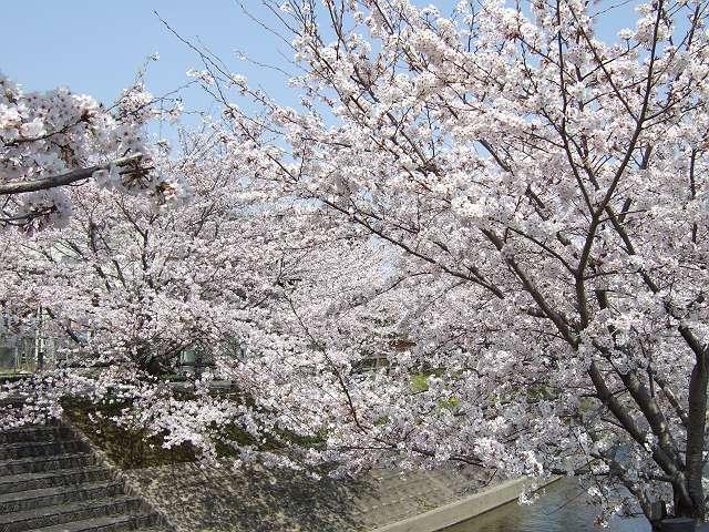 Tatsutagawa_sakura_09