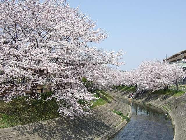 Tatsutagawa_sakura_10