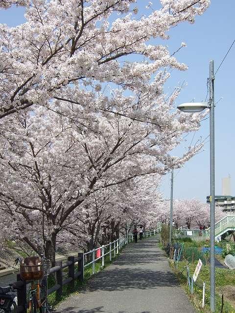 Tatsutagawa_sakura_12