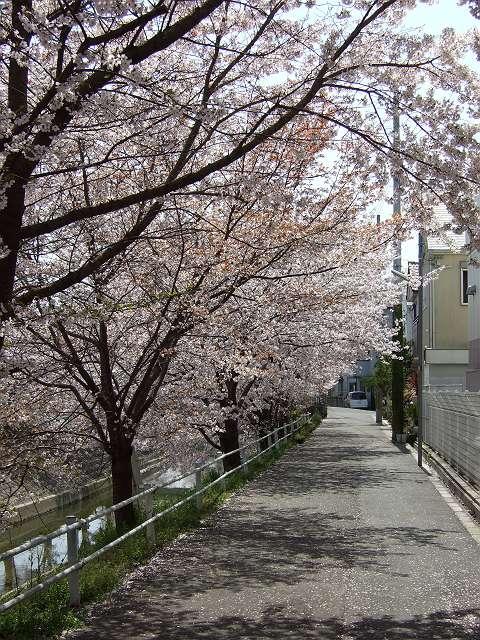 Tatsutagawa_sakura_15