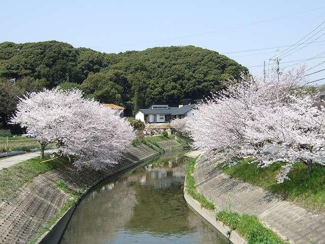Tatsutagawa_sakura_01