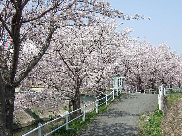 Tatsutagawa_sakura_13