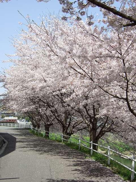 Tatsutagawa_sakura_16